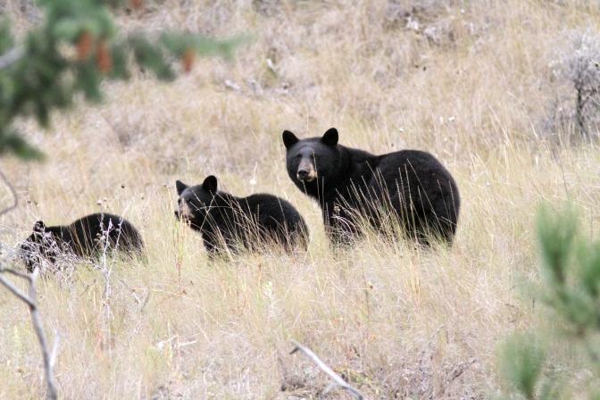 Black Bears 3