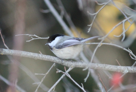 Black-capped Chickadee bkjh3