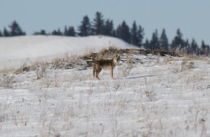 Coyote kkh3