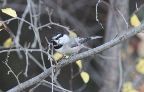 Mountain Chickadee bjh3