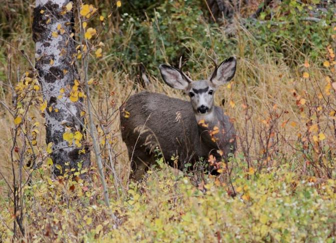 Mule Deer hj3