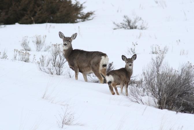 Mule Deer jhhjbj4