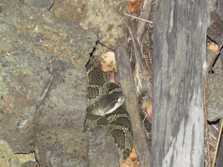 Northern Pacific Rattlesnake hjk (2)