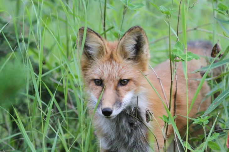 Red Fox ghgh