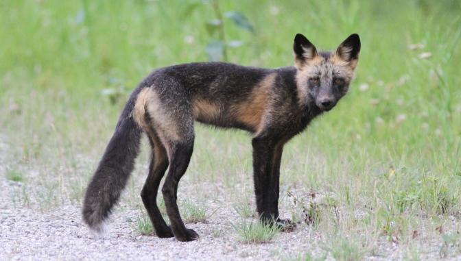 Red Fox kkrrfd
