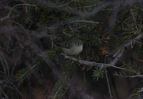 Ruby-crowned Kinglet gjg3