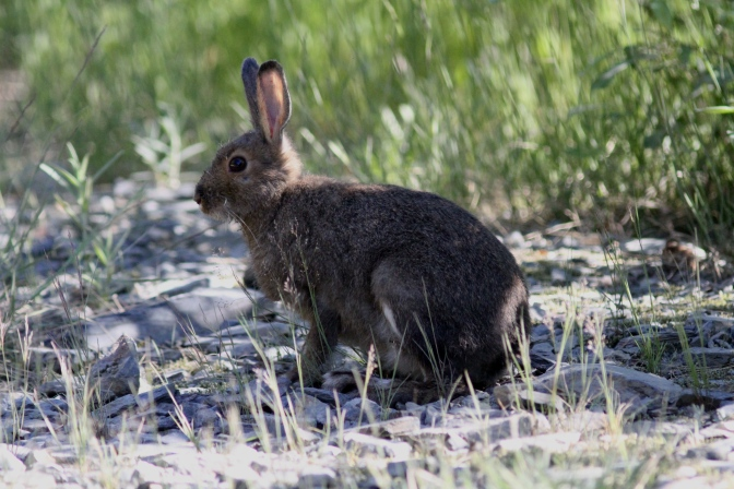 Snowshoe Hare ghg3