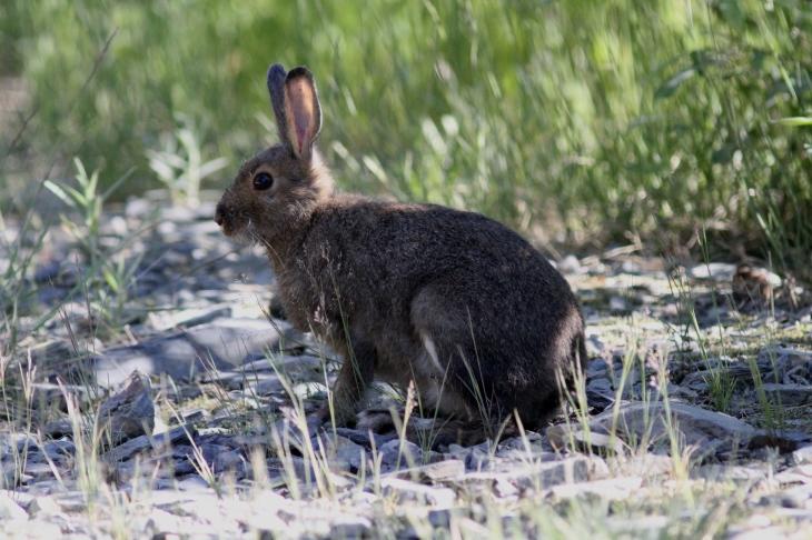 Snowshoe Hare ghg3