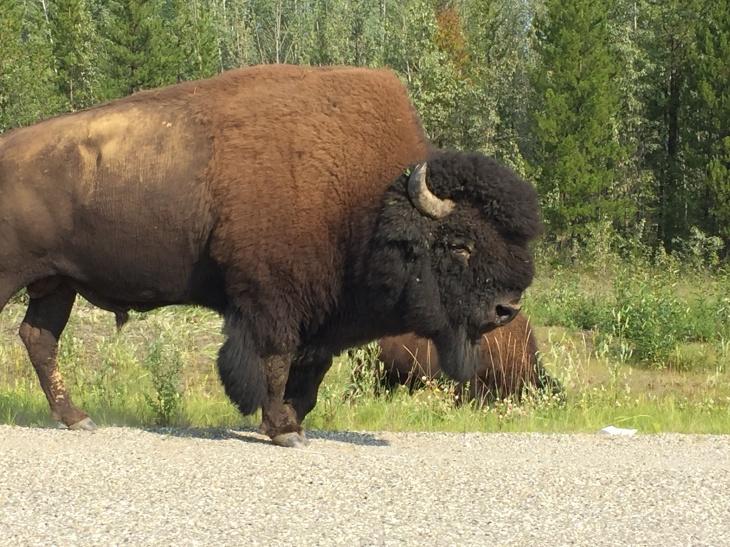 Wood Bison 4