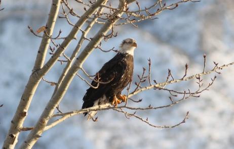 Bald Eagle jhhk4