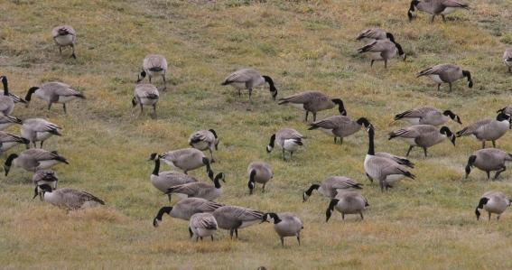 Canada Goose gjge