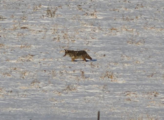 Coyote vgjhk3