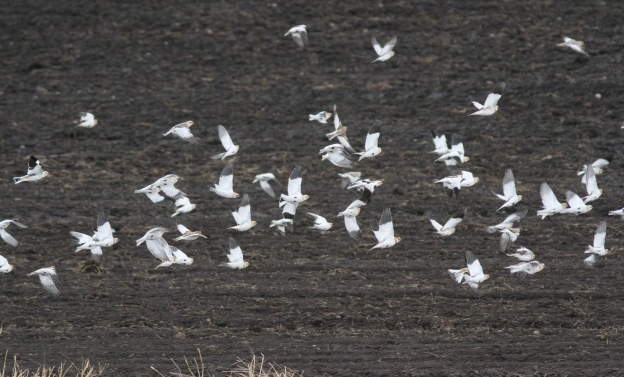 Snow Buntings ggerr