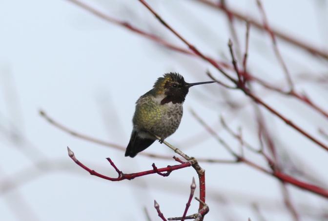Anna's Hummingbird gghk3