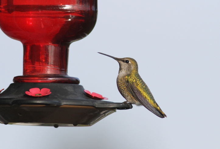 Anna's Hummingbird ghkh3