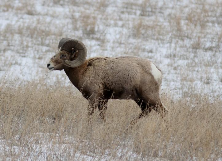Bighorn Sheep bhj4