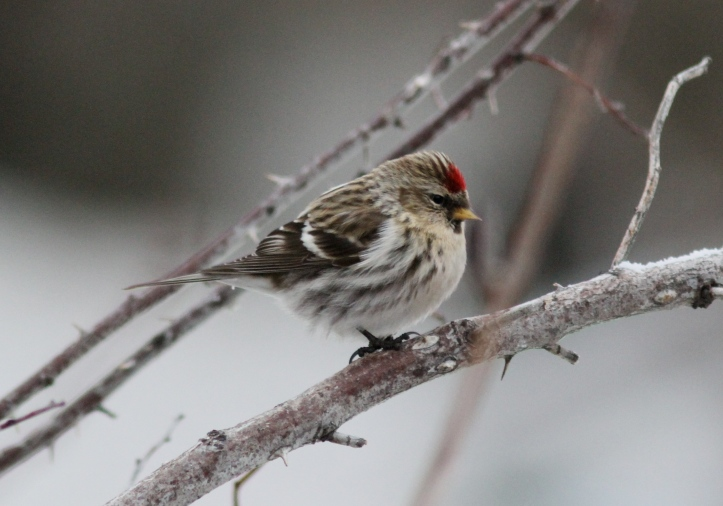 Common Redpoll vghh3