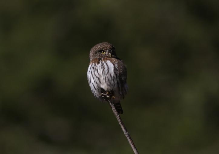 Northern Pygmy Owl gjh3