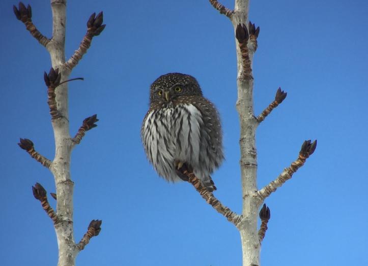Northern Pygmy Owl kk2