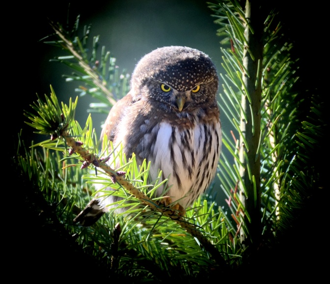 Northern pymy Owl j3