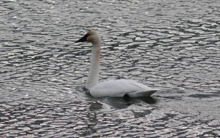 Tundra Swan gj3