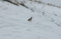 Coyote kk3