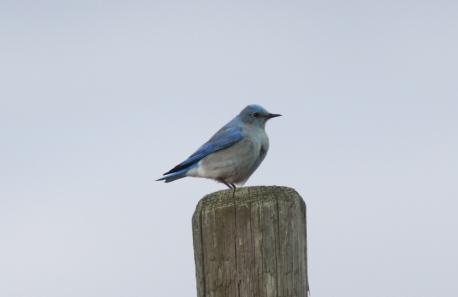 Mountain Bluebird khj3