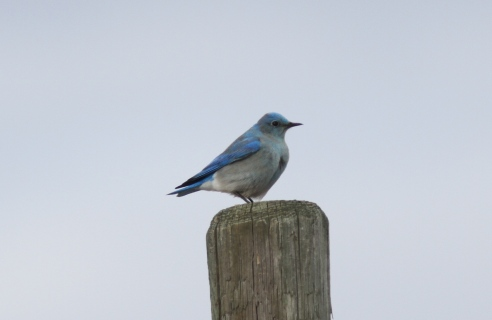 Mountain Bluebird khj3