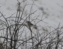 Northern Shrike i3
