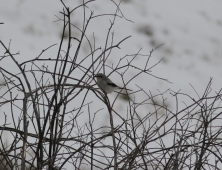 Northern Shrike i3