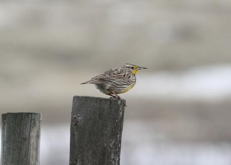 Western Meadowlark kbkk3