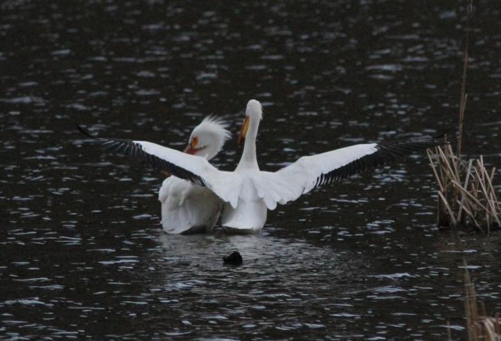 American White Pelican hj3