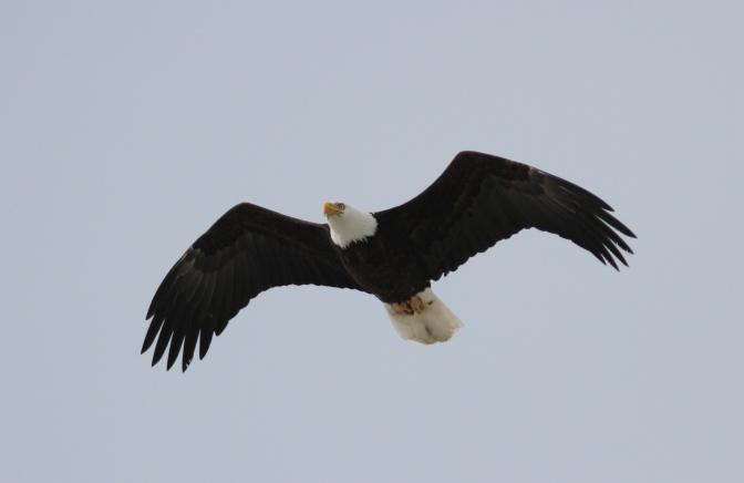 Bald Eagle lltt