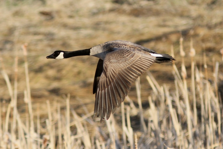 Canada Goose hhj3