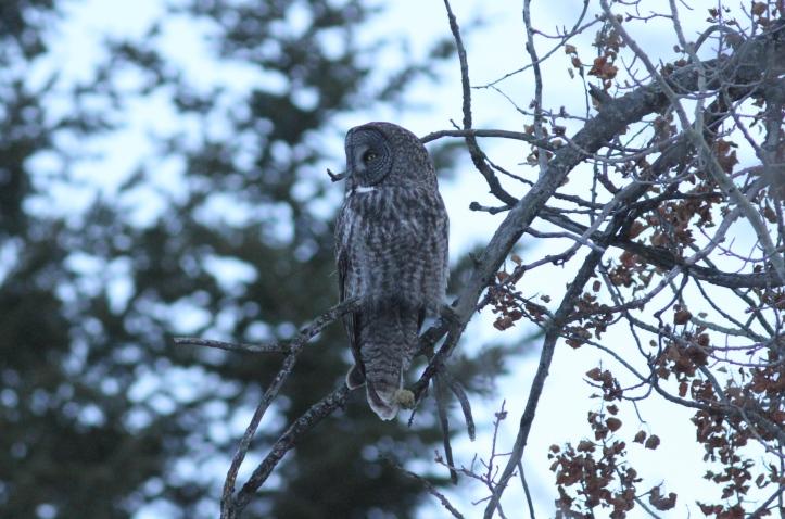 Great Grey Owl bkhjh