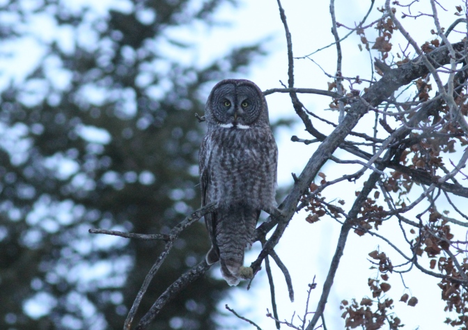Great Grey Owl jk3
