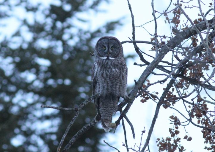 Great Grey Owl jk3