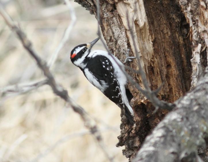 Hairy Woodpecker kj4gg