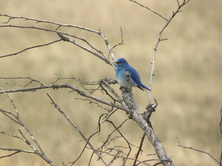 Mountain Bluebird sad