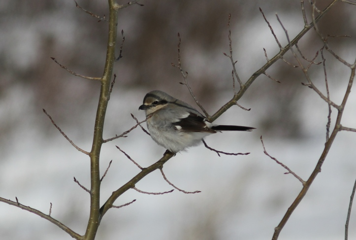Northern Shrike hjhk3