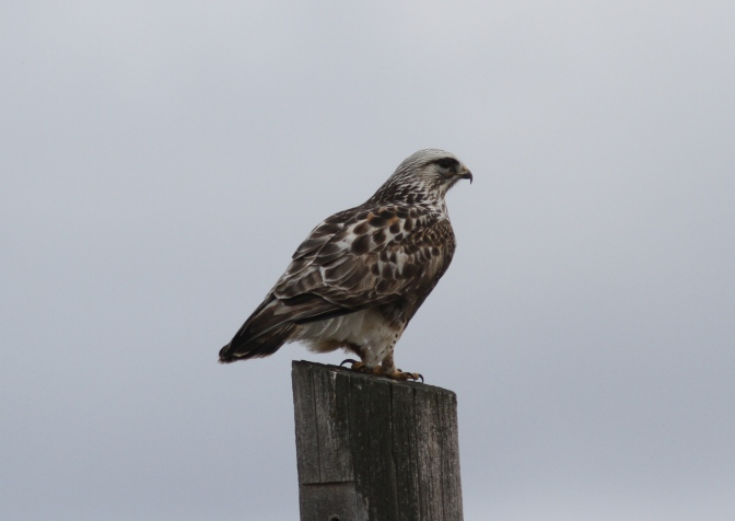 Rough-legged Hawk kkkf