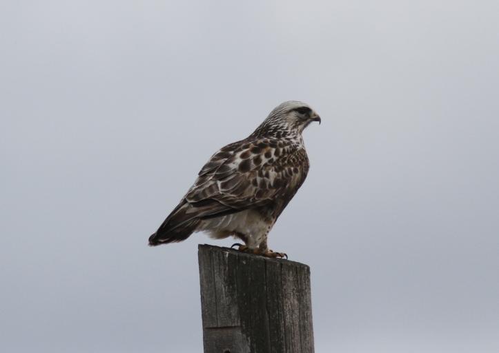 Rough-legged Hawk kkkf