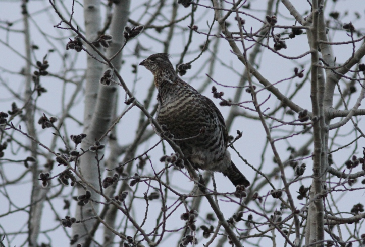 Ruffed Grouse bkkeffv