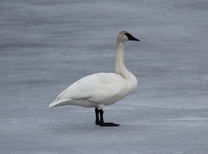Trumpeter Swan bbcc
