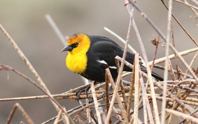 Yellow-headed Blackbird ffth