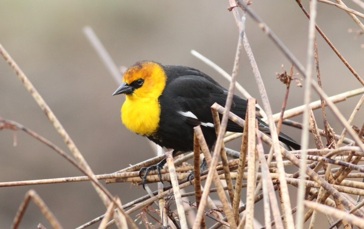 Yellow-headed Blackbird ffth