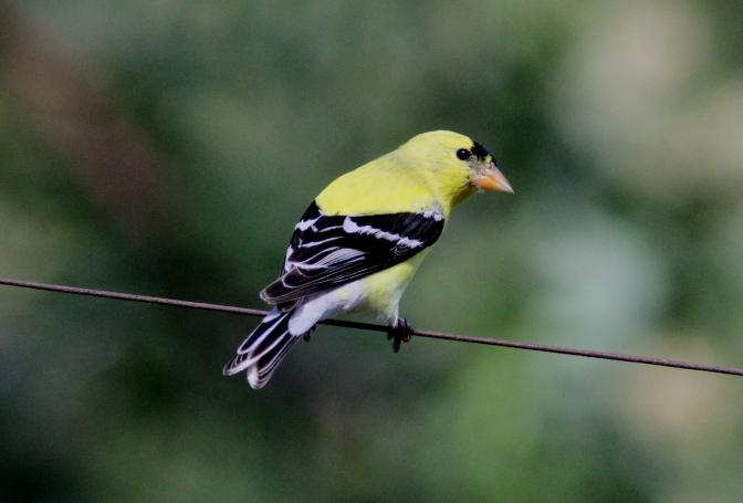 American Goldfinch hggh3f