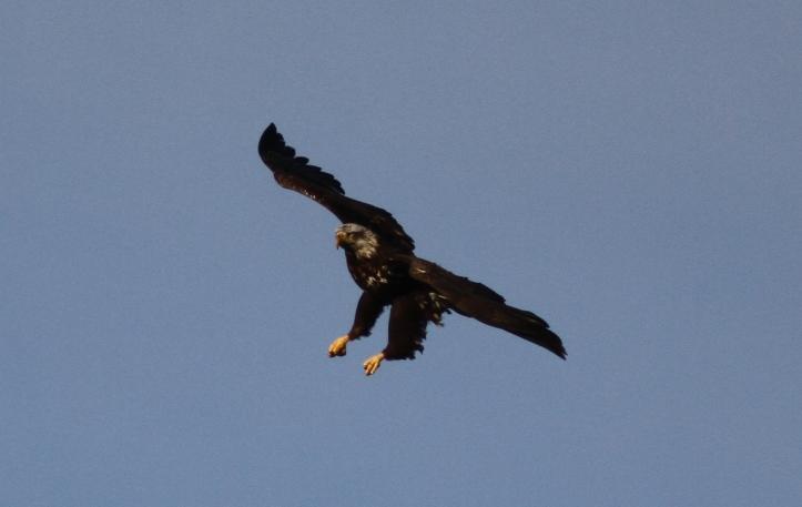 Bald Eagle jkk3