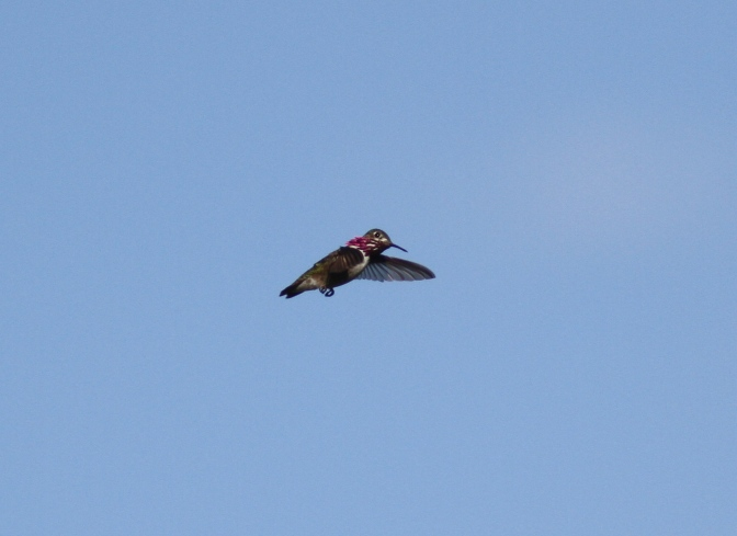 Calliope Hummingbird hjg3