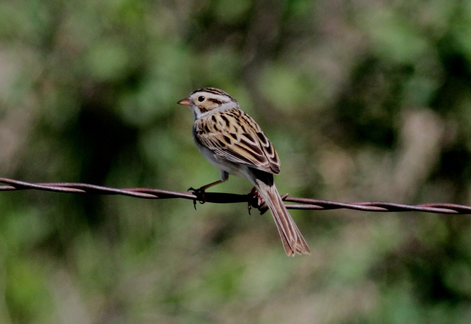 Clay-coloured Sparrow hghj3